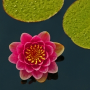 water-lily-with-lily-pads
