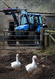 farm-yard-geese