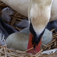 nesting-swan