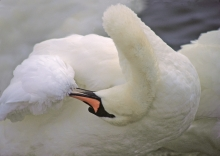 preening-swan