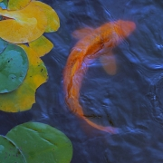 koi-carp-with-lilly-pads