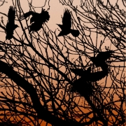 nesting-rooks