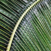 palm-frond
