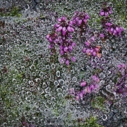 Heather with dew covered cobweb