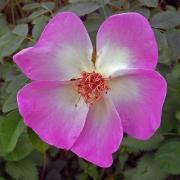 pink-dog-rose