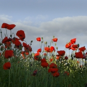 wild-poppies