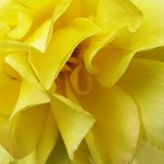 yellow-rose-petals