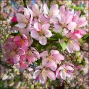 2 Blossom L
