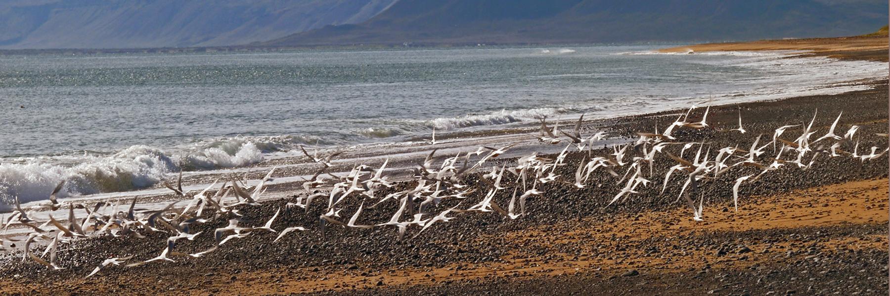 arctic-terns