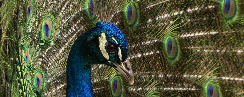 header peacock