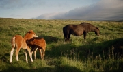 mare-with-foals