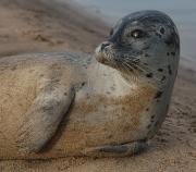 Wild Common Seal