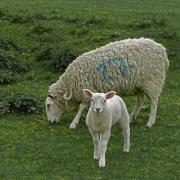 ewe-and-lamb