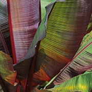 Autumn Banana leaves