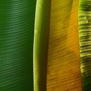bananna-leafs