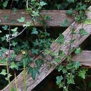 ivy-on-a-gate
