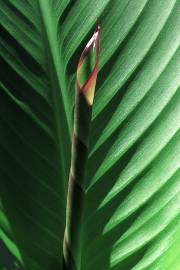 new-banana-leaf