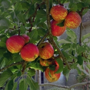 rosy-red-apples