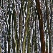 snow-on-tree-trunks