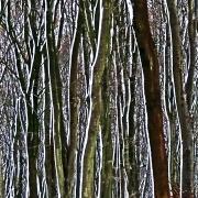 snow-on-tree-trunks