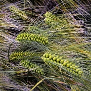 the-wind-that-blows-the-barley