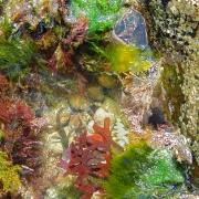 rock-pool-fish